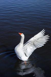 Een witte gans spreidt zijn vleugels van Marc Venema