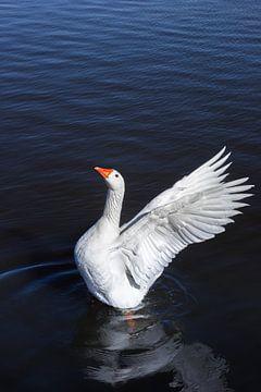 Eine weiße Gans breitet ihre Flügel aus von Marc Venema