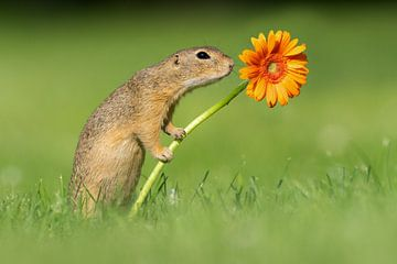Ecureuil terrestre avec fleur sur Dick van Duijn