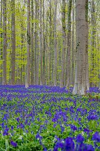 Une mer de magnifiques jacinthes des bois en fleurs dans le Hallerbos apporte une atmosphère magique sur Kim Willems