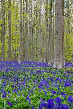 Een zee van prachtig bloeiende boshyacinten in het Hallerbos brengen een magische sfeer te weeg van Kim Willems