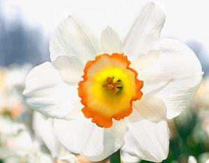 Narcis in bollenveld