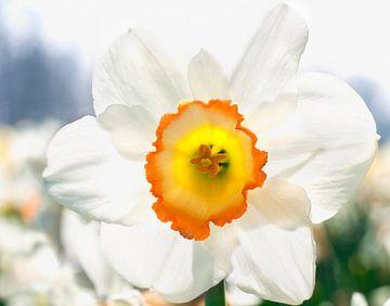 Narcis in bollenveld van Anouschka Hendriks