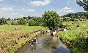 Koeien zoeken verkoeling in de Geul in Zuid-Limburg