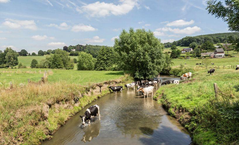 Koeien zoeken verkoeling in de Geul in Zuid-Limburg van John Kreukniet