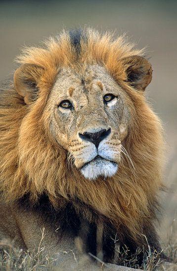Portret van een leeuw van Nature in Stock