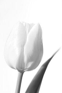 Witte tulp in zwart wit van Gonnie van de Schans