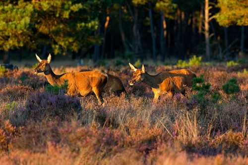 Cerfs rouges sur la lande sur Anton de Zeeuw