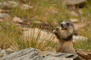 Marmot is gras aan het eten in de alpen