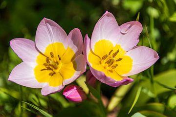 Tulpen im Garten von Peter Baier