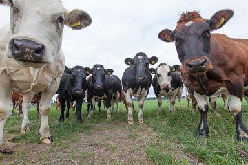 Een kudde koeien kijkt nieuwsgierig in de lens van