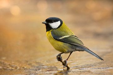Great tit on a icy brench. van Vincent Willems