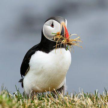 Papegaaiduikers bouwen een nest van Denis Feiner