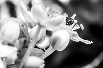 Druppeltjes in het licht op de bloem in zwartwit von Leontien van der Willik-de Jonge