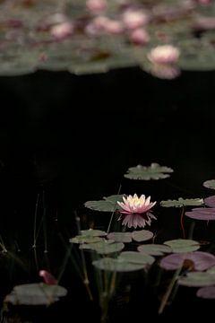 Waterlelies (4) van Mayra Pama-Luiten