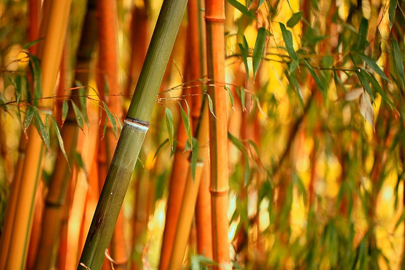 Bambus Bambusa oldhamii van Renate Knapp