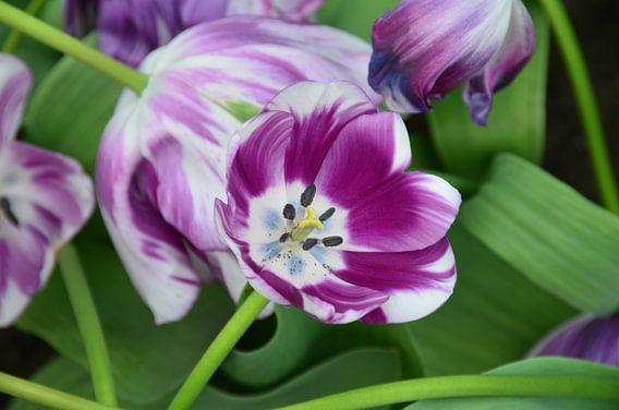 Tulips in Purple and White. van Marcel van Duinen