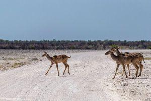 Overstekende kudu's van