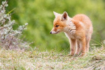 red fox cub von Pim Leijen