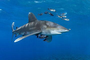 Carcharhinus longimanus van Norbert Probst