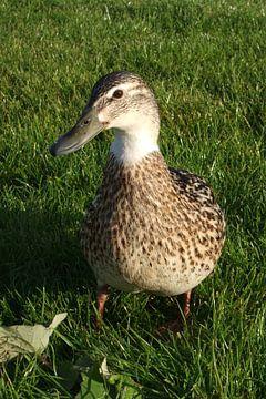 Ente von Anouk Davidse
