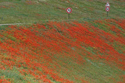Rood tapijt van klaprozen langs de snelweg.
