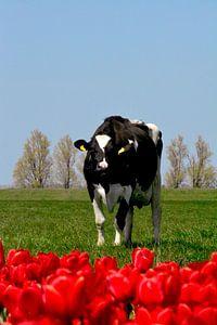 Holländische Kuh von Capfield Photography
