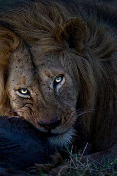 Un lion mâle s'amusant avec une proie dans les plaines du Serengeti, en Tanzanie. sur Louis en Astrid Drent Fotografie