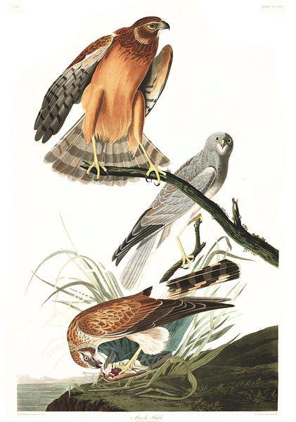Blauwe Kiekendief van Birds of America