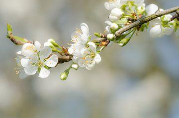 """Bloesem - """"Spring"""" von Carla Boogaard"""