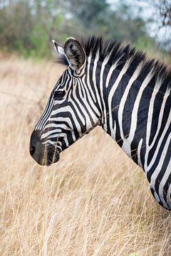 Oegandese Zebra van