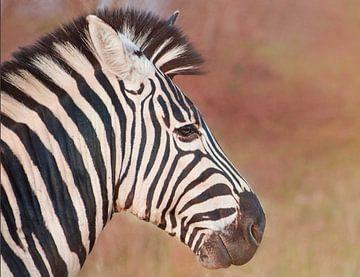 Strepen in de ochtend. Hoofd van een zebra- een zijportret van Laura Sanchez