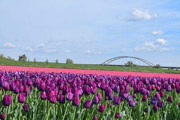 Veld met paarse en roze tulpen  van Kim de Been