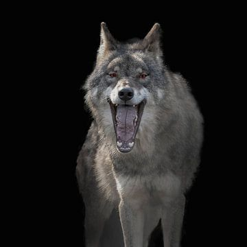 Europese Wolf, Canis lupus lupus van Gert Hilbink