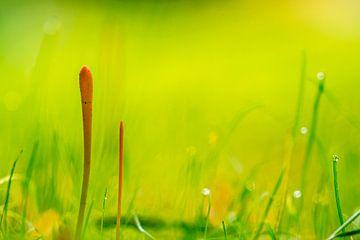 Oranje knotszwammetjes in het groene gras van Emajeur Fotografie