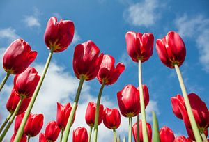 Tulpen  sur Charelle Roeda