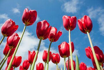 Tulpen  von Charelle Roeda
