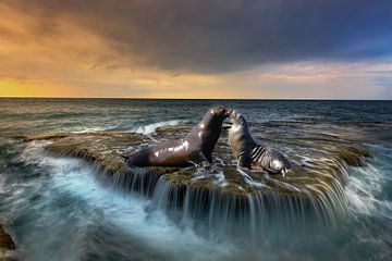 Twee zeehonden liefde