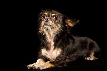 Arroganter Hund von Günter Albers