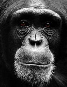 Portret Chimpansee