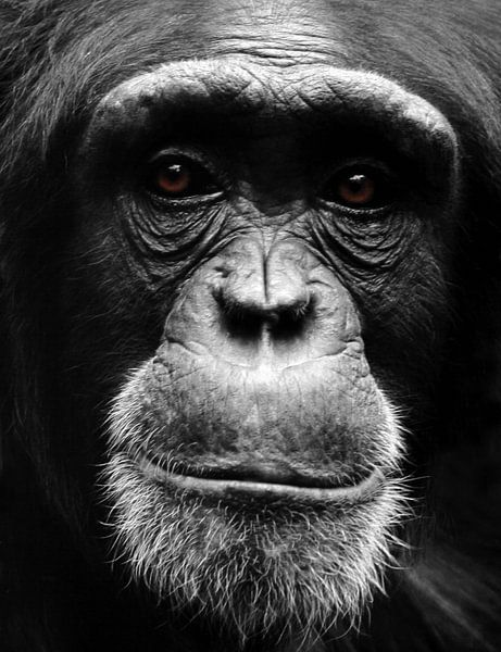 Portret Chimpansee van MSP Canvas