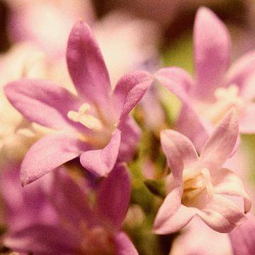Sternblüten von Kay Weber