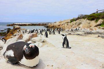Pinguins in Kaapstad Zuid Afrika van Fotojeanique .
