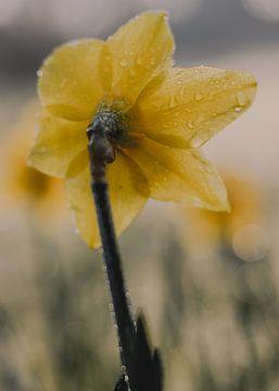 Narcis, kleur van Jessica Bakhuijs