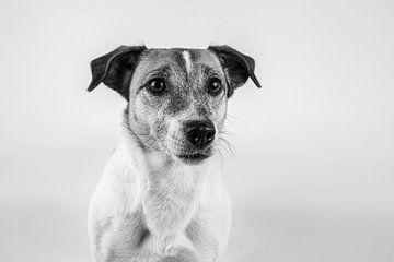 Hund, Jack Russell Terrier in Schwarz-Weiß von Anne Marie Hoogendijk