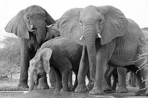 Dorstige wilde olifanten met matriarch