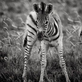young zebra van Paul Piebinga