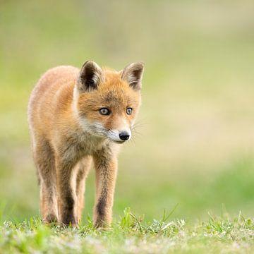 jeune renard dans l'herbe sur bryan van willigen