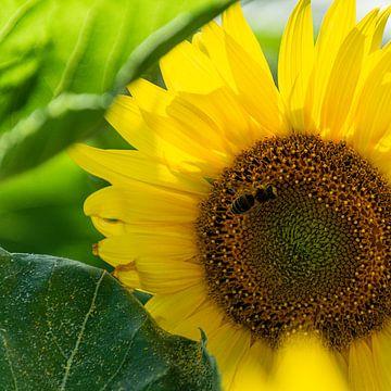 Wespe auf einer Sonnenblume von Reismaatjes XXL