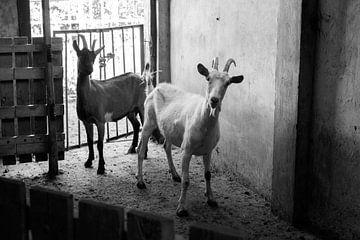 Zwei Ziegen in der Scheune von ellenklikt